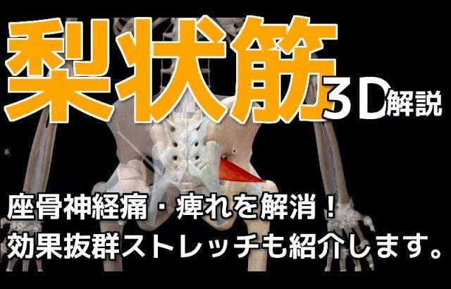 梨状筋ストレッチで座骨神経痛・お尻のしびれを治す【ストレッチ&3Dマッスル講座】