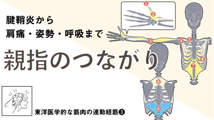 【腱鞘炎から 肩痛・姿勢・呼吸まで】親指のつながりを紐解く|手太陰経筋